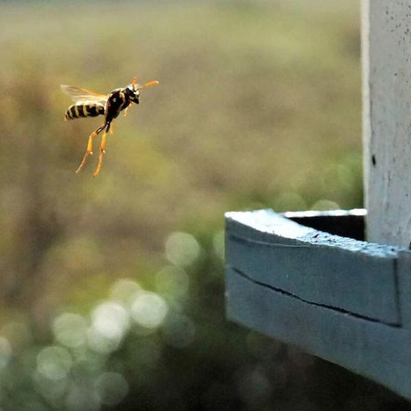 Wasp Flying In the Air