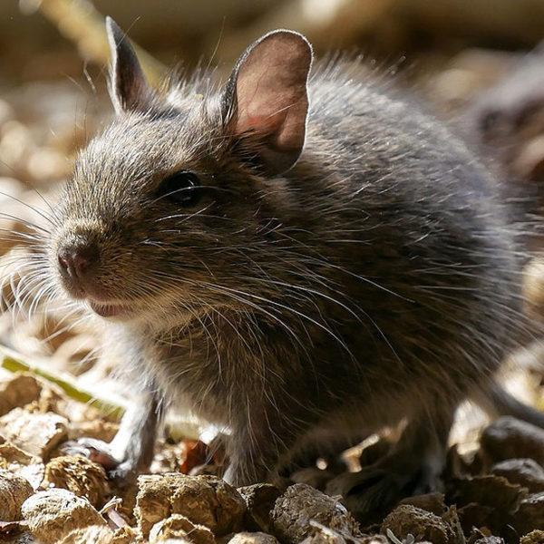 Rodent Control in Cumming, GA